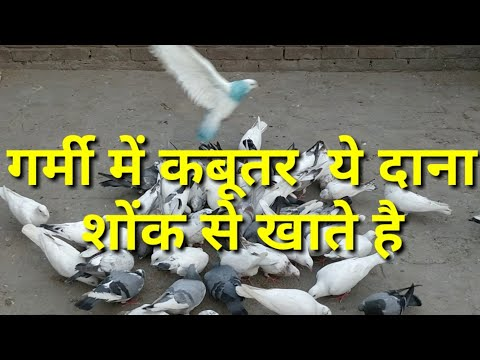 Pigeon.kabutar ko garmi se bachane ke liye konsa dana de
