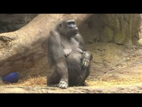 Mom Gorilla giving birth like Human to Twin at Netherlands Zoo ☜♥☞ Reproduction in Animals