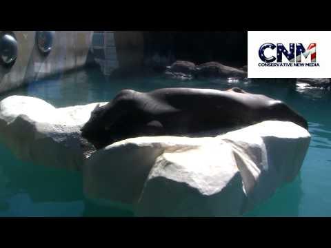 Huge Walrus Sunning Himself on Fake Ice Float in 1080P HD