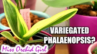 Orchid Q&A #25 - Variegated Orchids, Miltoniopsis yellowing, crown rot & more!