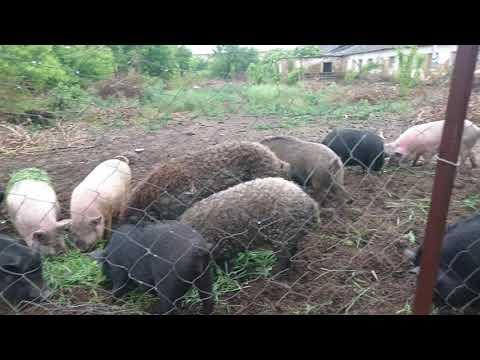 Свиньи вьетнамские на мясо без химии Украина Харьков 0675736455