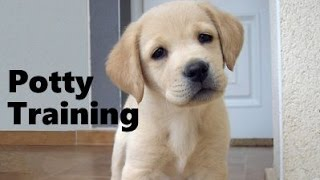 How To Potty Train A Goldador Puppy - Goldador House Training Tips - Housebreaking Goldador Puppies