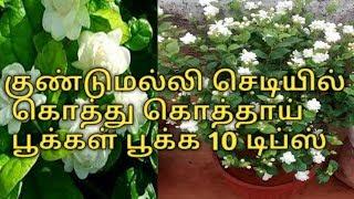 10 டிப்ஸ் kundu malli poo chedi || குண்டுமல்லி பூ செடி வளர்ப்பு