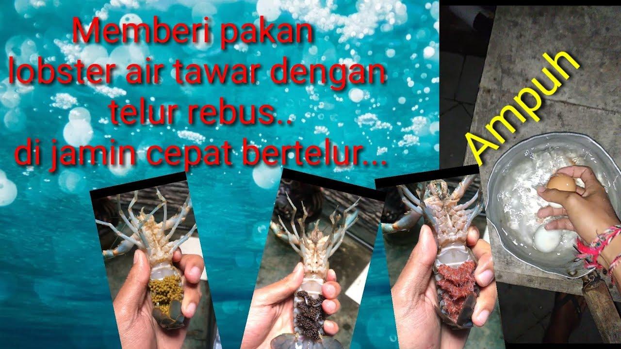 Telur Rebus Untuk Pakan Lobster Air Tawar Agar Cepat Bertelur
