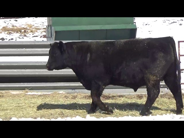 Connealy Angus Lot 450