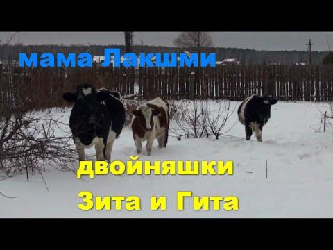 061.Окунево.Коровы на снегу.