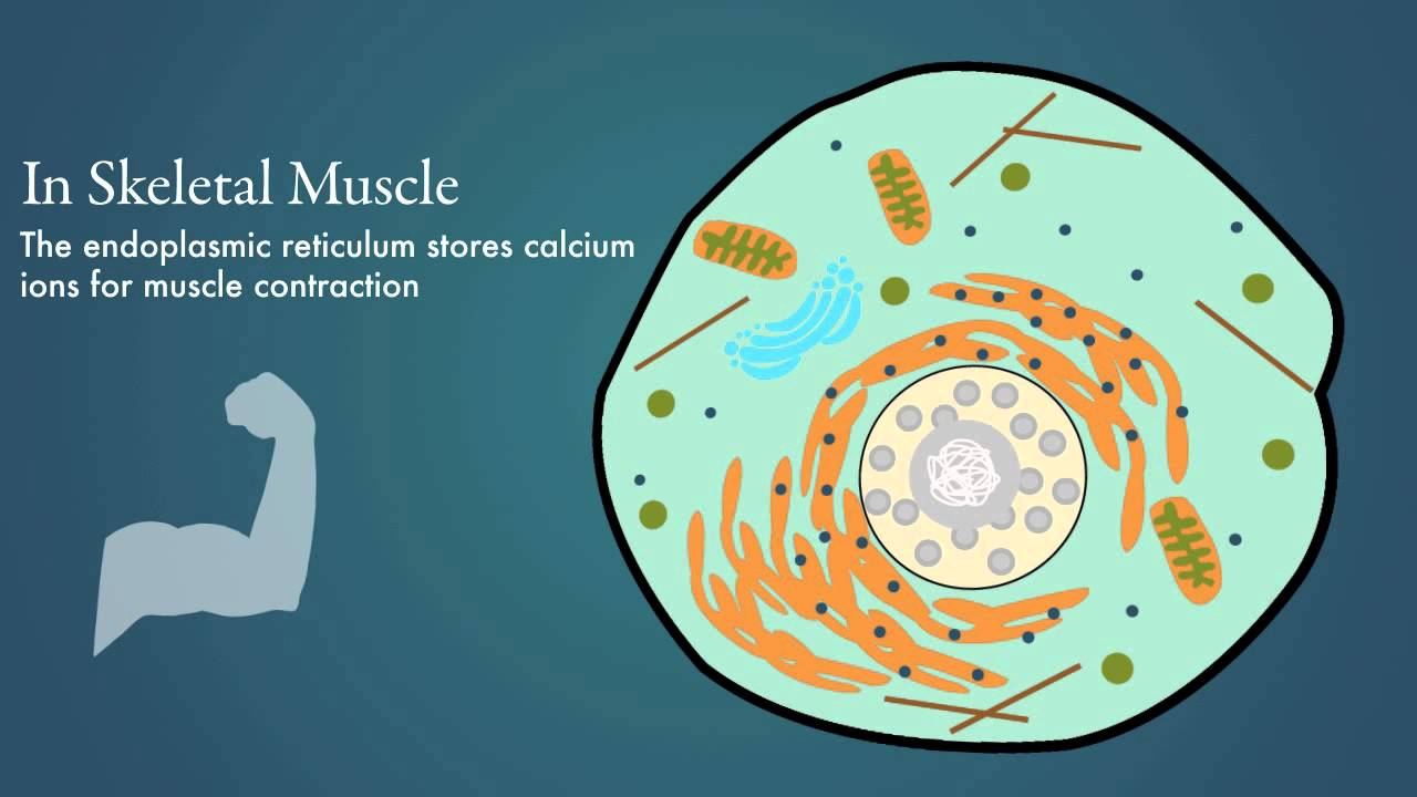 Endoplasmic Reticulum - YouTube What Is Endoplasmic Reticulum