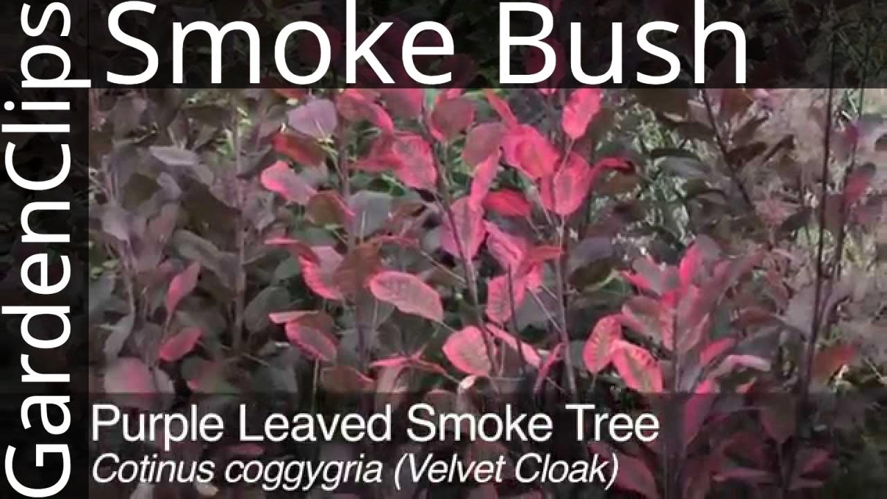 Purple Leaved Smoke Tree Cotinus Coggygria How To Grow Smoke