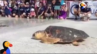 Loggerhead Turtle Rescued and Released into the Wild LIVE*
