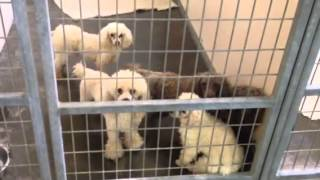 New Arrivals At Poodle Rescue Of Houston