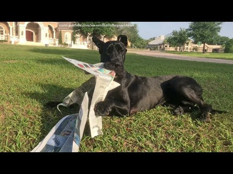 Funny Great Dane's First Attempt at Fetching the Newspaper