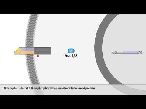 The BMP signaling pathway