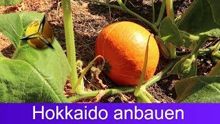Kürbis pflanzen: Hokkaido selber anbauen & ernten