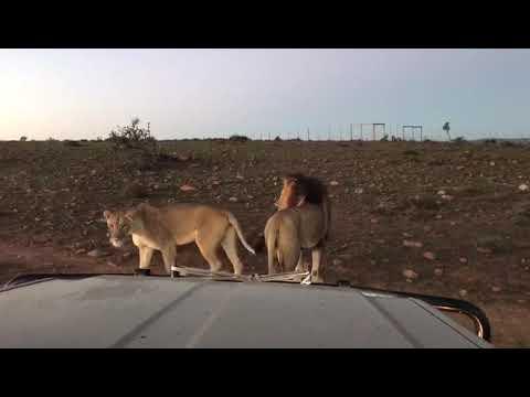 Sylvester die rondloper leeu van die Karoo!