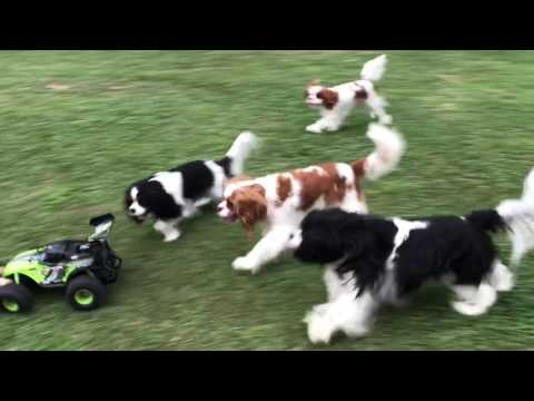 Cavalier King Charles Spaniels chasing cars