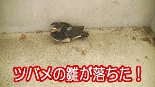 朝見たら、燕の巣から雛が落ちていました。 巣には2~3匹の雛がいます...