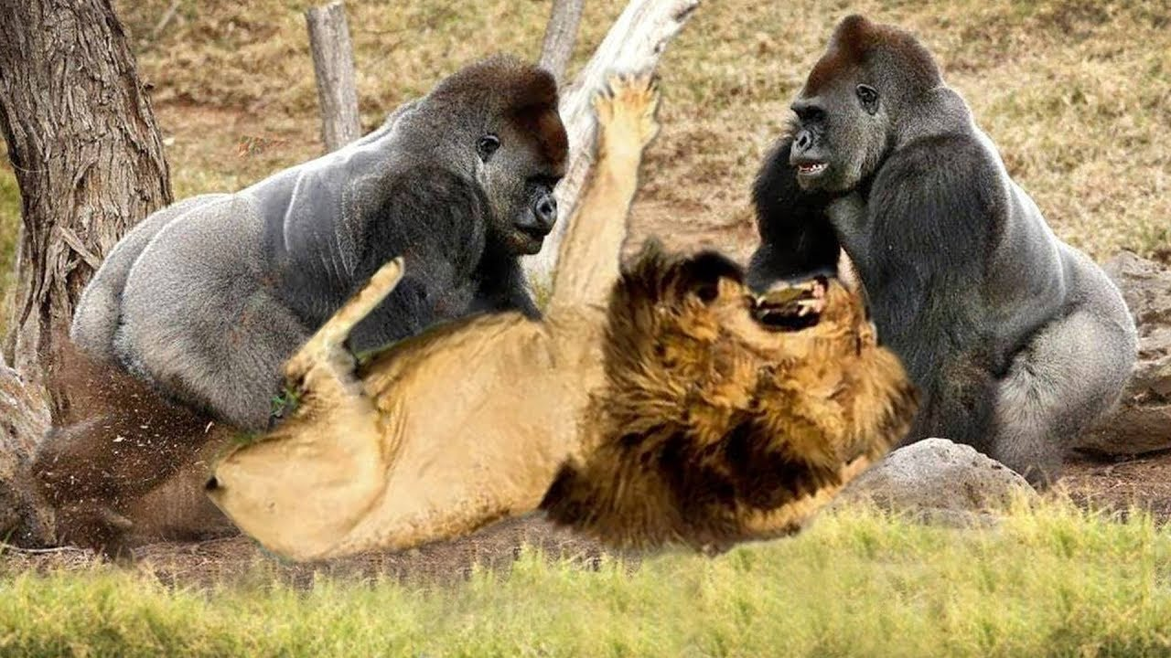 Classic fight Lion , gorilla attack | Amazing Animals Attacks - Wild Animal Fights Caught On Camera