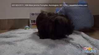 Black Imperial Shih Tzu Puppy Huntington Long Island Ny At Bowwow Babies Puppy Store