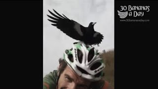 Magpie attacks Durianrider non stop! Hilarious! Magpie season in Australia