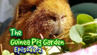 Guinea Pig Garden Episode 2 - The Sprouting Book