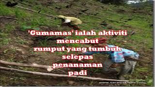 Padi Bukit Sabah