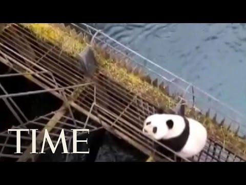 Wild Panda Rescued After Falling Off Hydroelectric Power Station | TIME