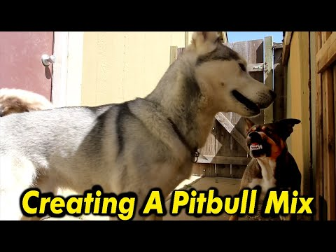 this-is-what-you-get-when-you-breed-pitbull-with-husky