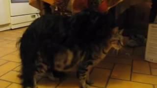 Cat sex video