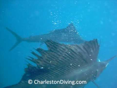 Swimming With Sailfish Isla Mujeres Mexico