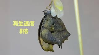 秋型♂の色彩の美しさには,日本人好みの「わび・さびの世界」に通じるも...