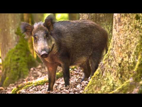 Interview with the UK Wild Boar Trust