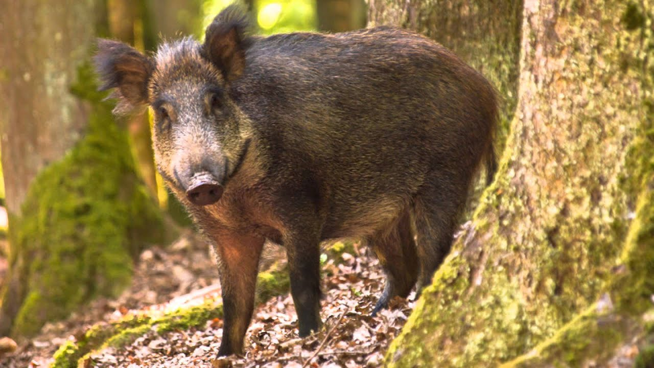 Amazon Rainforest Animals Wallpaper Interview With The Uk Wild Boar Trust Youtube