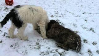 Ellie & Mowgli Sheepadoodle Puppies- 16 weeks old