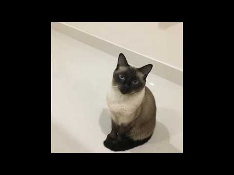 Siamese cat |smart and funny pet