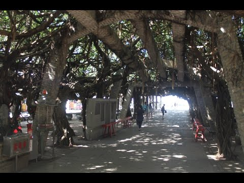 Tongliang Great Banyan / 通樑古榕, Penghu / Pescadores Islands / 澎湖