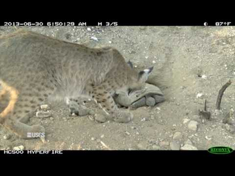 Animal Interactions at Wind Energy Facilities – Bobcat