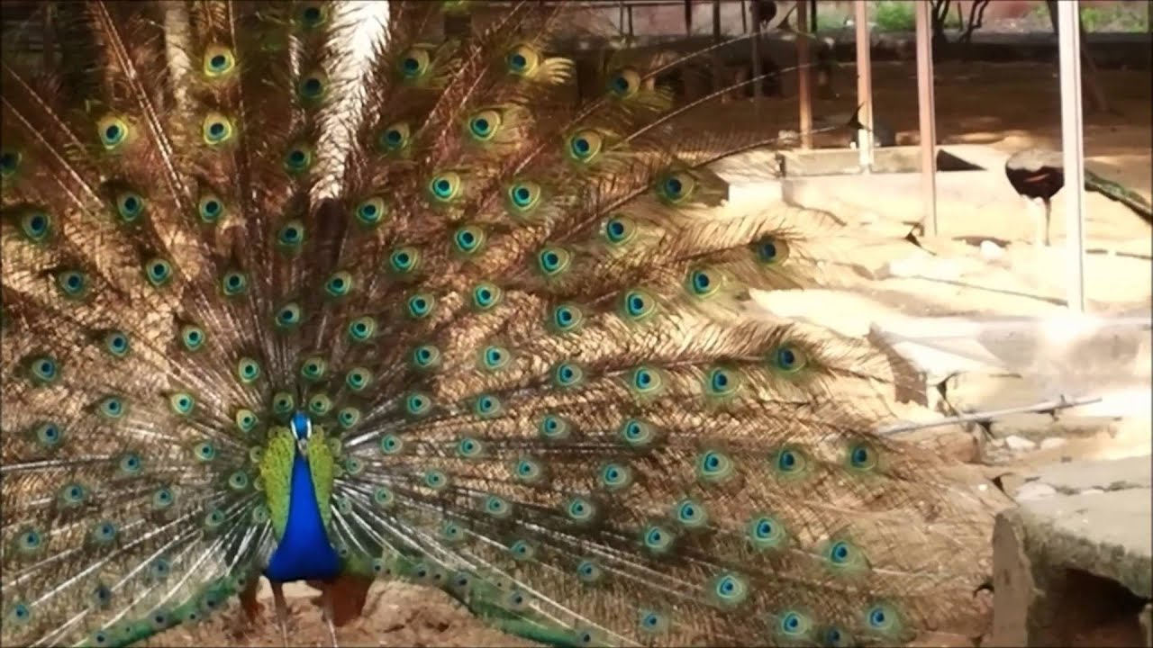 information about indian peacock Indian peafowl (pavo cristatus) are diurnal birds native to india and a few neighboring nations peafowl refers to both male and female within the species, while.