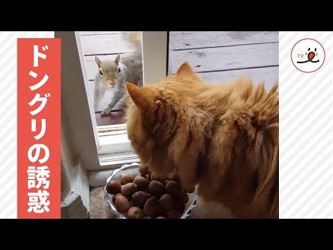 どんぐりを巡るリス&猫さんの和む攻防。どんぐりの命運は果たして……?😳【-pecotv-】