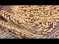 5 Incredible Health Benefits Of Rye