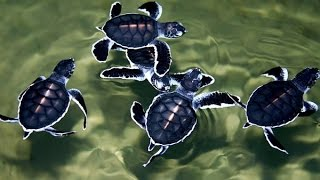 Sea Turtle Conservation - turtle farm in Kosgoda, Sri Lanka