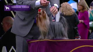 Yorkshire Terriers | Breed Judging 2021