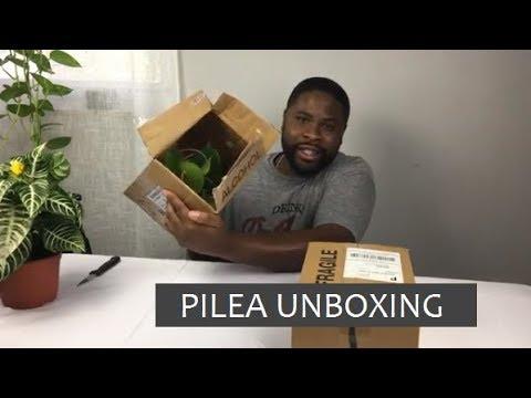 Pilea plant unboxing