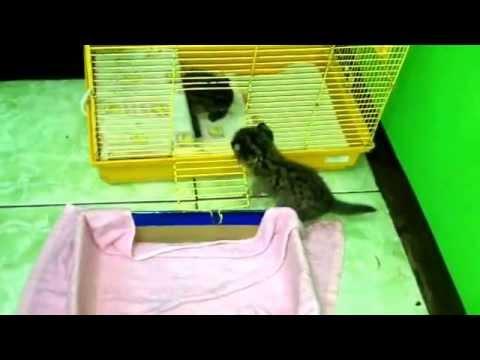 Bayi Kucing Hutan Jinak Masuk Kandang Sendiri