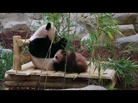 French zoo's baby panda tumbles and cuddles in its public debut