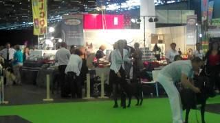 Judging the BOB in WDS Paris 2011 ( Cane Corso)