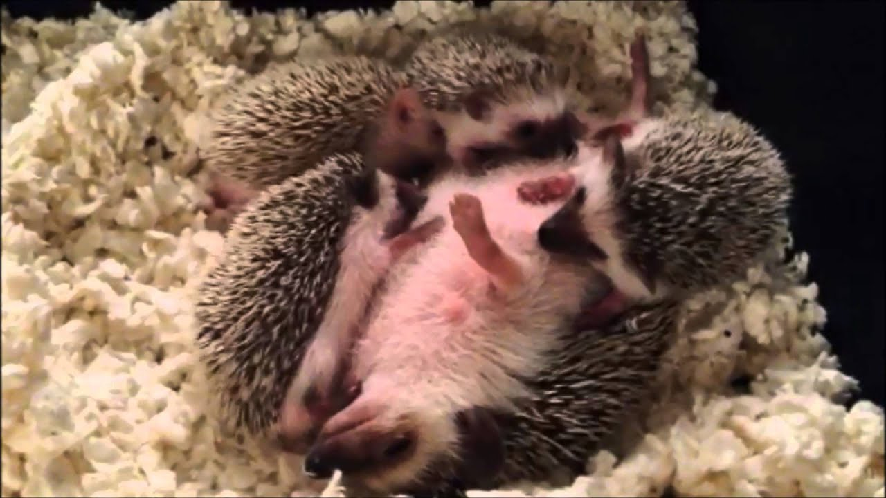 Cute Baby Hedgehog Wallpaper Cute Baby Hedgehogs Nursing Youtube