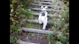 A digest video of this channel. Bingo (a wire fox terrier living in...
