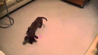 My Dachshund Playing With Red Laser [jamnik Gania Za Laserem]
