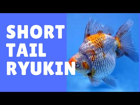 Short Tail Ryukin Goldfish This Is Show Quality