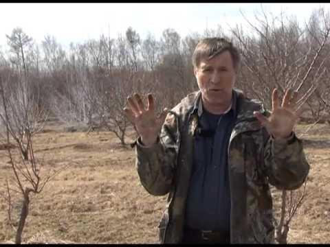 В лесничествах Хабаровского края заготавливают шишки хвойных .